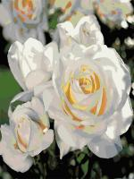 "Картина по номерам artmag 40*50 см ""Белая роза"" схема+краски+кисти К019 шт (+05163)"